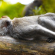 Lazy monkey — Stock Photo