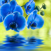 Blue orchid background with reflection in water — Stock Photo