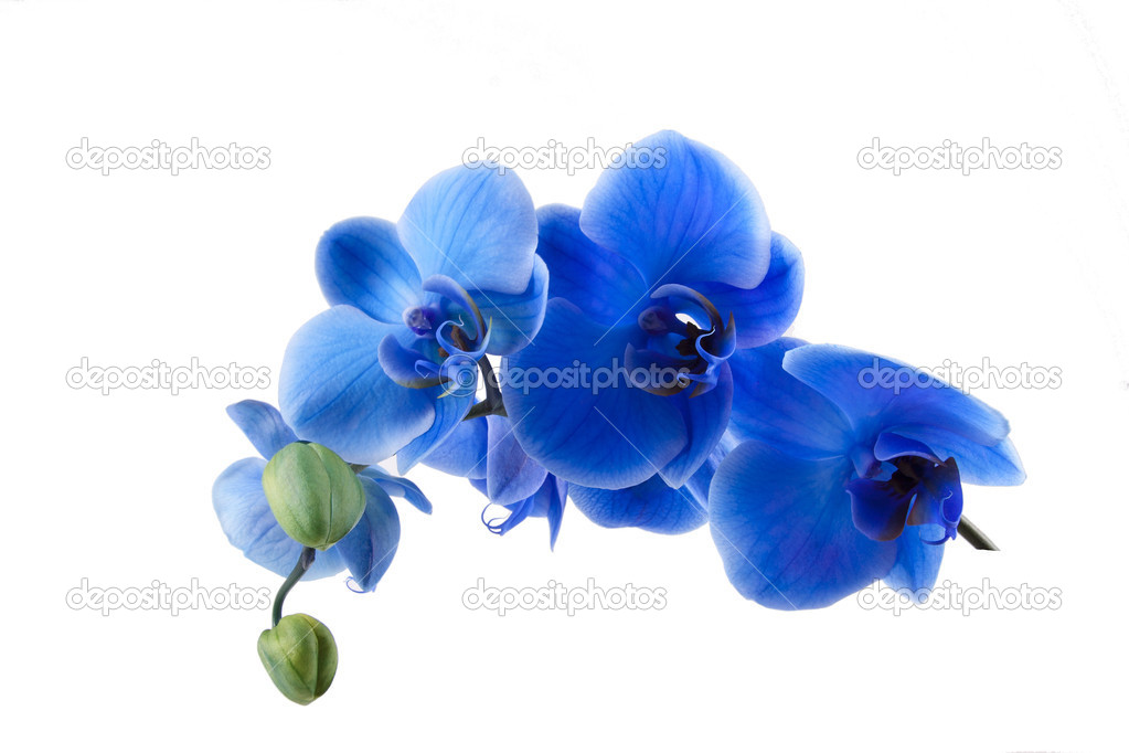 Blue Orchid Plant Peace Lily Plant Care Guide Beautiful  : depositphotos26641235 stock photo bouquet of blue orchid isolated from joomlaink.com size 1023 x 682 jpeg 47kB