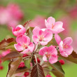 Peach blossoms — Stock Photo