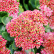 Stock Photo: Red sedum
