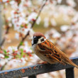 Spring sparrow — Stock Photo