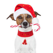 Christmas dog — Stock Photo