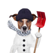 Winter dog shovel snow — Stock Photo