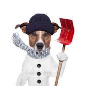 Winter dog shovel snow — Stock Photo