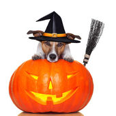 Halloween pumpkin witch dog — Stock Photo