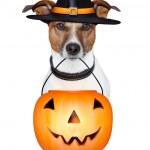 Halloween pumpkin witch dog — Stock Photo #13705830
