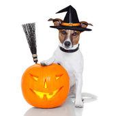 Halloween pumpkin witch dog — Stock Photo