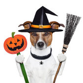 Halloween pumpkin witch dog — Stockfoto