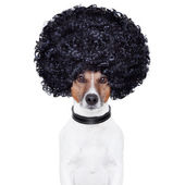 Afro look hair dog funny — Stock fotografie