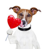 Valentine lollipop heart dog licking — Stock Photo