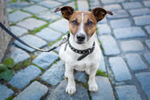 Homeless dog lonely with leash — Stock Photo