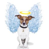 Angel dog feather wings aura nimbus — Stock Photo