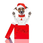 Surprise christmas dog in a box — Stock Photo