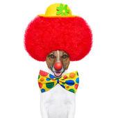 Cão de palhaço com peruca vermelha e chapéu — Foto Stock