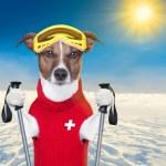 Skiing dog — Stock Photo
