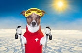 Skiing dog — Stock Photo
