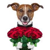 Valentine dog — Stock Photo