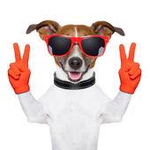 Mír a vítězství prsty pes — Stock fotografie