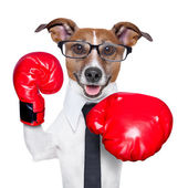 Boxing dog — Stock Photo
