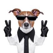 прохладный собака — Стоковое фото