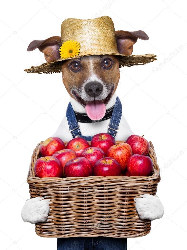 perro granjero feliz sosteniendo una cesta llena de manzanas orgánicas saludables — Foto de damedeeso - depositphotos_28702455-farmer-dog