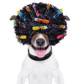 Crazy curly hair dog — Stock Photo