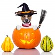 Halloween dog as witch — Stock Photo