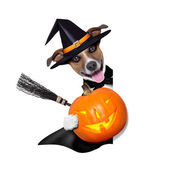 Halloween witch dog — Stock Photo