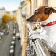 Stock Photo: Nosy watching dog