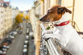 Nosy watching dog — Stock Photo