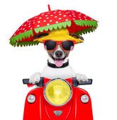 Motorcycle dog summer dog — Foto de Stock