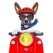 Cachorro louco moto boba — Fotografia Stock