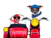 Motorbike dogs — Stock Photo