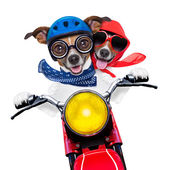 Motorbike couple of dogs — Stock Photo