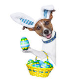 Dog easter bunny — Stock Photo
