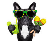 Brazilian french bulldog — Stock Photo
