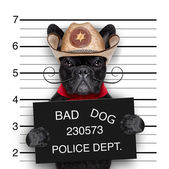 Mexican mugshot dog — Stock Photo