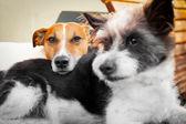 Cães no amor — Fotografia Stock