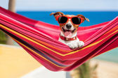 Dog on hammock — Stock Photo