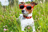 Dog in meadow  — Stock Photo