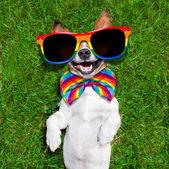 Mycket rolig gay hund — Stockfoto