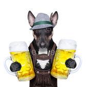 Bavyera bira köpek — Stok fotoğraf