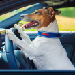 ������, ������: Dog car steering wheel