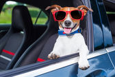 Dog window car — Stock Photo