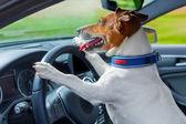 Cachorro carro volante — Fotografia Stock