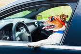 Dog car  steering wheel — Stock Photo