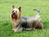 Australian Silky Terrier — Stock Photo