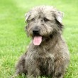 Irish Glen of Imaal Terrier - Lizenzfreies Foto