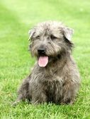 Irish Glen of Imaal Terrier — Stock Photo